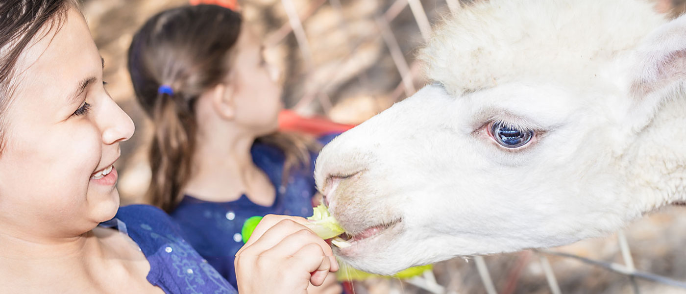 girl feeding llama at green meadows farm kissimmee fl